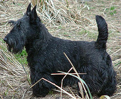 ScottishTerrier.jpg