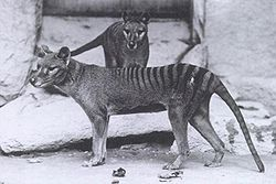 Thylacinus cynocephalus au zoo de New York en 1902